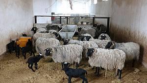 Hakkari'de ayı, ahırdaki 20 koyunu telef etti
